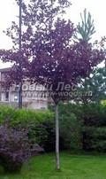 Лиственный крупномер Черемуха виргинская Шуберт (Prunus virginiana (Padus virginiana) 'Shubert')