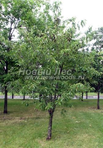 Лиственный крупномер Черемуха поздняя (Prunus serotina)