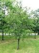Лиственный крупномер Черемуха поздняя (Prunus serotina) - 101
