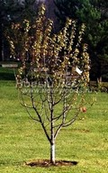 Плодовые крупномеры Вишня обыкновенная (Prunus cerasus (Cerasus vulgaris)) в наличии