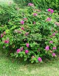 Лиственный крупномер Роза морщинистая (Шиповник морщинистый) (Rosa rugosa)