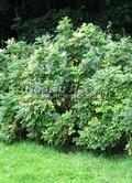 Лиственный крупномер Роза морщинистая альба (Шиповник морщинистый белый) (Rosa rugosa alba)