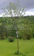 Лиственный крупномер Рябина круглолистная (Рябина мучнистая) Магнифика  (Sorbus aria 'Magnifica')