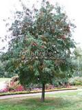 Лиственный крупномер Рябина обыкновенная (Sorbus aucuparia)