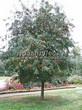 Лиственный крупномер Рябина обыкновенная (Sorbus aucuparia) - 101