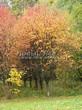 Лиственный крупномер Рябина обыкновенная (Sorbus aucuparia) - 102