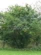 Лиственный крупномер Рябина обыкновенная (Sorbus aucuparia) - 103