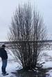 Лиственный крупномер Рябина обыкновенная (Sorbus aucuparia) - 104