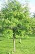 Лиственный крупномер Рябина обыкновенная (Sorbus aucuparia) - 105