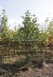 Лиственный крупномер Рябина обыкновенная (Sorbus aucuparia) - 106