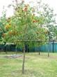 Лиственный крупномер Рябина обыкновенная (Sorbus aucuparia) - 107