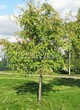 Лиственный крупномер Рябина обыкновенная (Sorbus aucuparia) - 109