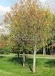 Лиственный крупномер Рябина обыкновенная (Sorbus aucuparia) - 110