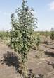 Лиственный крупномер Рябина обыкновенная (Sorbus aucuparia) - 113