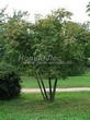 Лиственный крупномер Рябина обыкновенная (Sorbus aucuparia) - 114