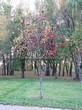Лиственный крупномер Рябина обыкновенная (Sorbus aucuparia) - 115