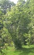 Лиственный крупномер Рябина обыкновенная (Sorbus aucuparia) - 116
