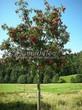 Лиственный крупномер Рябина обыкновенная (Sorbus aucuparia) - 117