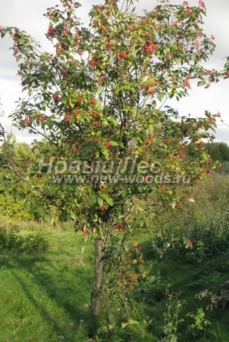 Лиственный крупномер Рябина промежуточная (Sorbus intermedia)