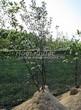 Лиственный крупномер Рябина промежуточная (Sorbus intermedia) - 101