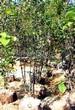 Лиственный крупномер Рябина промежуточная (Sorbus intermedia) - 102