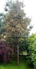 Лиственный крупномер Рябина тюрингская (тюрингенская) Фастигиата (Sorbus x thuringiaca 'Fastigiata')