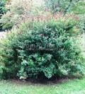 Лиственный крупномер Спирея Билларда (Spiraea billardii)