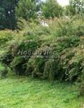 Лиственный крупномер Спирея Вангутта (Spiraea x vanhouttei)
