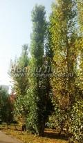 Лиственный крупномер Тополь берлинский (Populus x berolinensis)