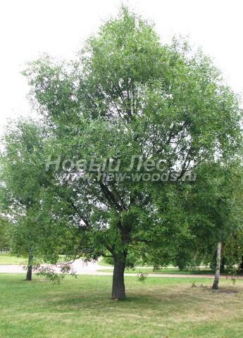 Лиственный крупномер Ива белая (Ветла) (Salix alba)