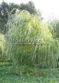 Лиственный крупномер Ива белая Тристис (Salix alba 'Tristis')