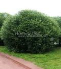 Лиственный крупномер Ива ломкая (Salix x fragilis)