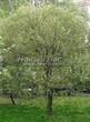 Лиственный крупномер Ива ломкая (Salix x fragilis) - 101