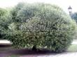 Лиственный крупномер Ива ломкая (Salix x fragilis) - 102