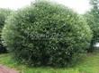 Лиственный крупномер Ива ломкая (Salix x fragilis) - 103