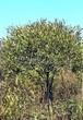 Лиственный крупномер Ива ломкая (Salix x fragilis) - 105