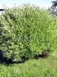 Лиственный крупномер Ива ломкая (Salix x fragilis) - 106