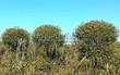 Лиственный крупномер Ива ломкая (Salix x fragilis) - 107