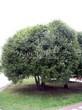 Лиственный крупномер Ива ломкая (Salix x fragilis) - 108