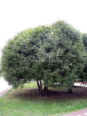 Посадка лиственных крупномеров Ивы ломкой