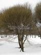 Лиственный крупномер Ива ломкая (Salix x fragilis) - 109