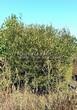 Лиственный крупномер Ива ломкая (Salix x fragilis) - 110