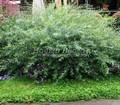 Лиственный крупномер Ива пурпурная Нана (Salix purpurea 'Nana')
