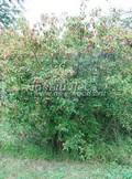 Лиственный крупномер Клен гиннала (Клен приречный, Клен татарский подвид гиннала) (Acer tataricum subsp. ginnala (Acer ginnala))