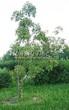 Лиственный крупномер Клен гиннала (Клен приречный, Клен татарский подвид гиннала) (Acer ginnala) (Acer tataricum subsp. ginnala) - 101