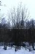 Лиственный крупномер Клен гиннала (Клен приречный, Клен татарский подвид гиннала) (Acer ginnala) (Acer tataricum subsp. ginnala) - 103