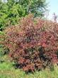 Лиственный крупномер Клен гиннала (Клен приречный, Клен татарский подвид гиннала) (Acer ginnala) (Acer tataricum subsp. ginnala) - 104