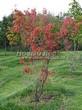Лиственный крупномер Клен гиннала (Клен приречный, Клен татарский подвид гиннала) (Acer ginnala) (Acer tataricum subsp. ginnala) - 105