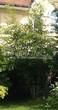 Лиственный крупномер Клен гиннала (Клен приречный, Клен татарский подвид гиннала) (Acer ginnala) (Acer tataricum subsp. ginnala) - 106