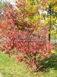 Лиственный крупномер Клен гиннала (Клен приречный, Клен татарский подвид гиннала) (Acer ginnala) (Acer tataricum subsp. ginnala) - 107